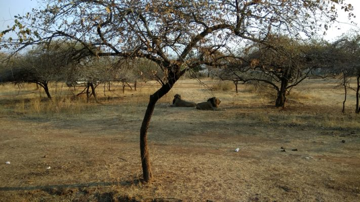 Exotic Expedition in Sasan Gir - Asiatic Lions