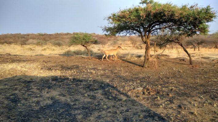 Exotic Expedition in Sasan Gir - Nilgai