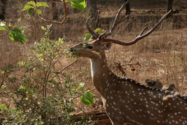 Exotic Expedition in Sasan Gir - sambar (A Large Deer)